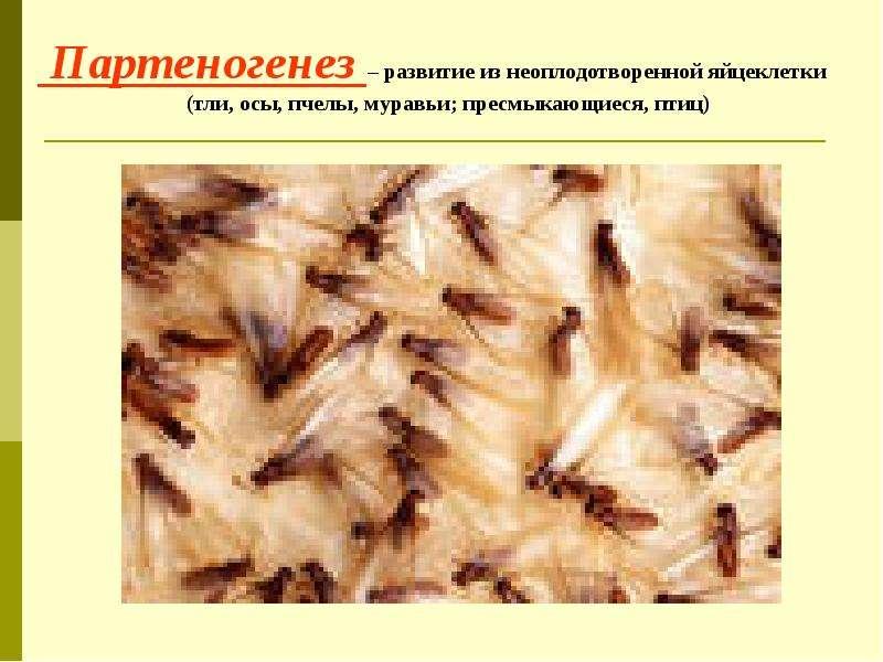 Партеногенез – развитие из неоплодотворенной яйцеклетки (тли, осы, пчелы, муравьи; пресмыкающиеся, п
