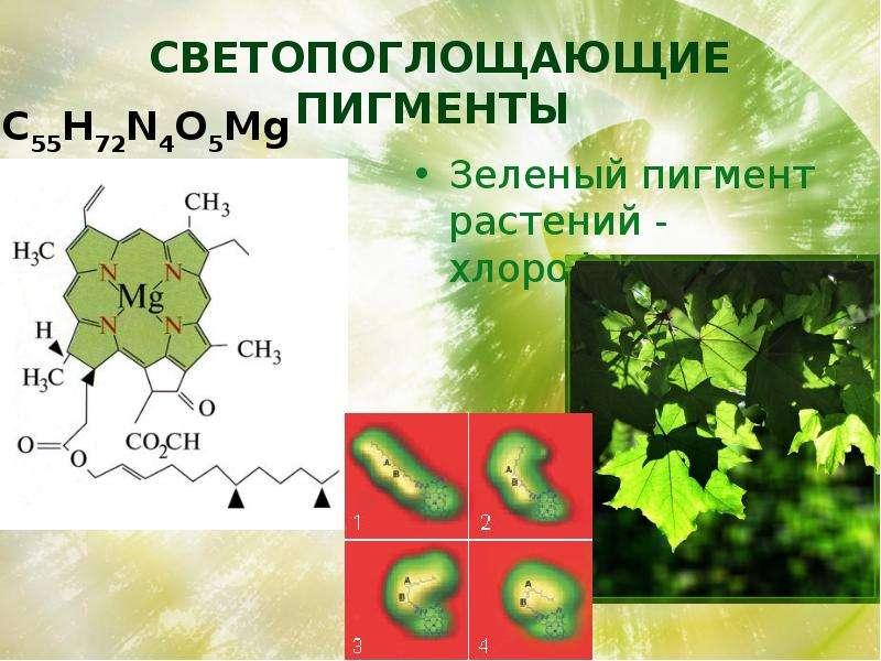 Пигмент хлорофилл содержится в