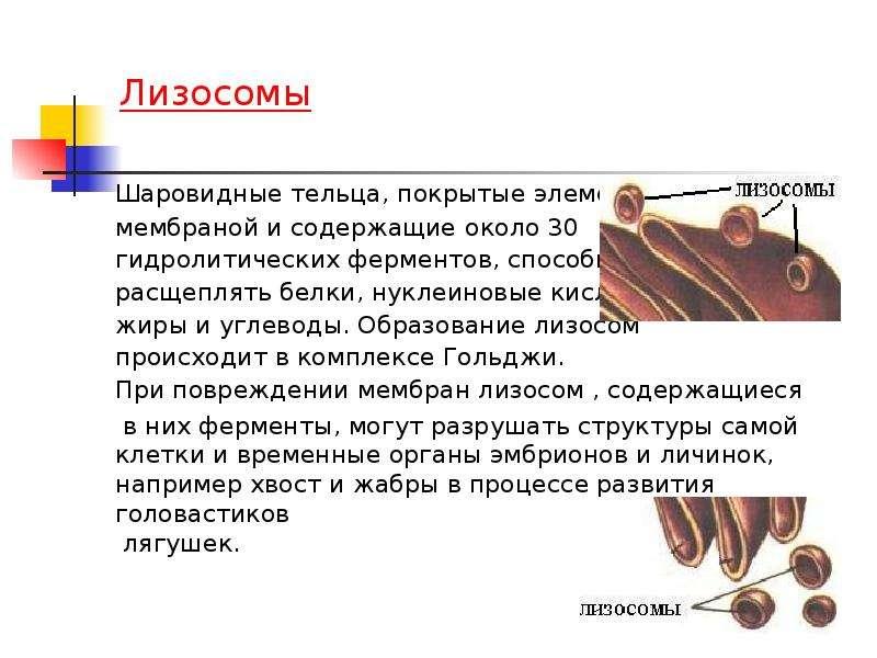 Презентация на тему органоиды движения