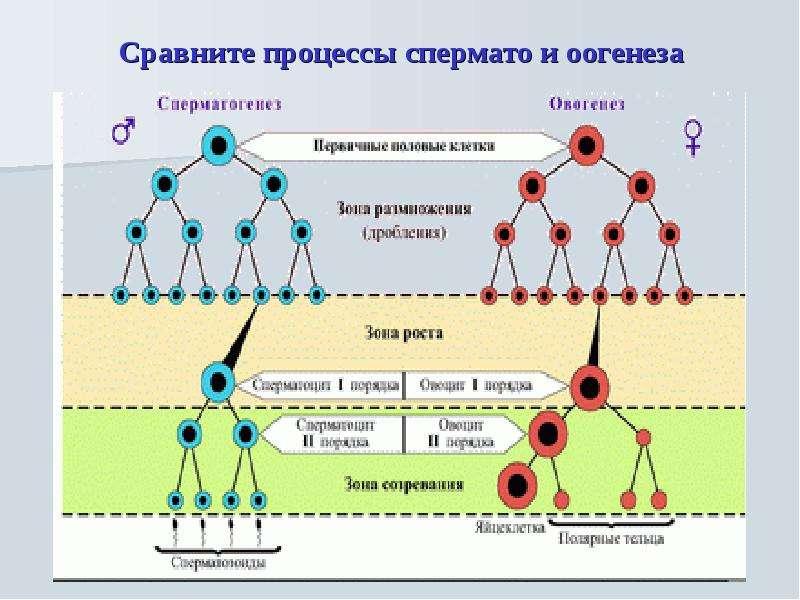 stadii-sozrevaniya-spermatozoida
