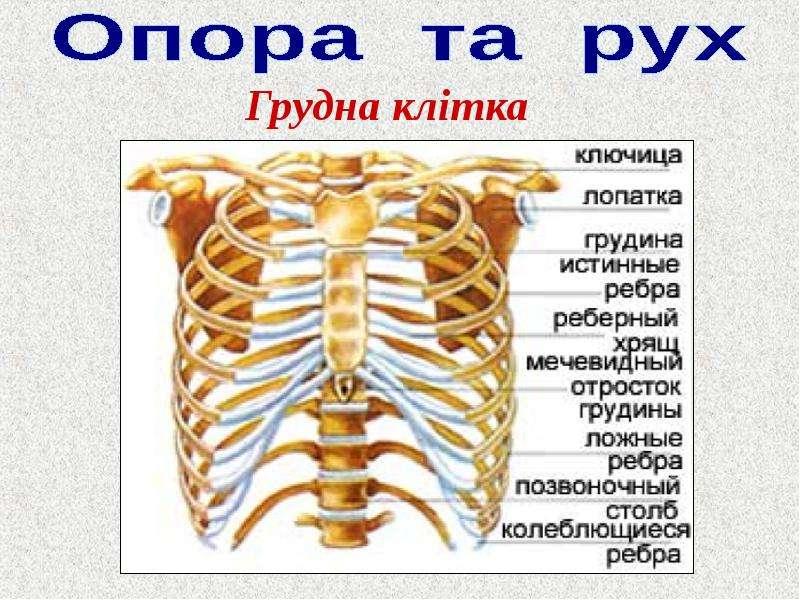 Где у человека находится грудная клетка