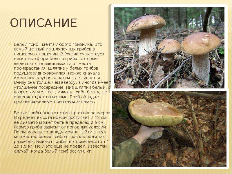 делать разновидности белого гриба фото и описание породы