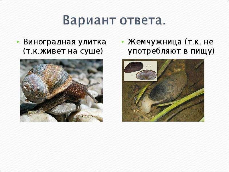 КЛАСС ГОЛОВОНОГИЕ МОЛЛЮСКИ. ИХ ЗНАЧЕНИЕ В ПРИРОДЕ И ЖИЗНИ ЧЕЛОВЕКА, слайд 14