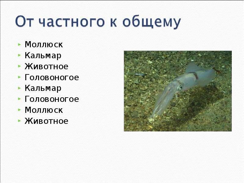 КЛАСС ГОЛОВОНОГИЕ МОЛЛЮСКИ. ИХ ЗНАЧЕНИЕ В ПРИРОДЕ И ЖИЗНИ ЧЕЛОВЕКА, слайд 16