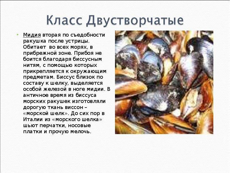 КЛАСС ГОЛОВОНОГИЕ МОЛЛЮСКИ. ИХ ЗНАЧЕНИЕ В ПРИРОДЕ И ЖИЗНИ ЧЕЛОВЕКА, слайд 17