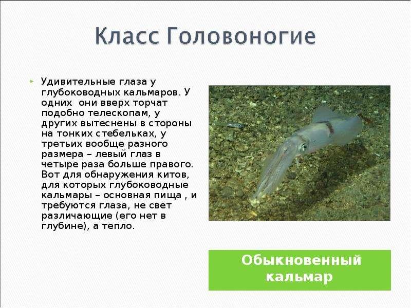Обыкновенный кальмар Обыкновенный кальмар