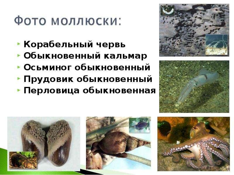 Корабельный червь Корабельный червь Обыкновенный кальмар Осьминог обыкновенный Прудовик обыкновенный