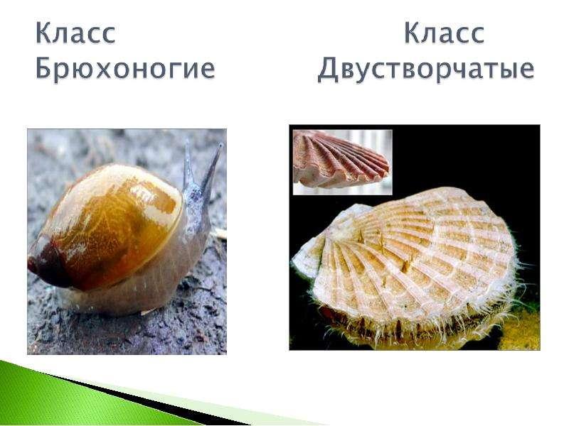 КЛАСС ГОЛОВОНОГИЕ МОЛЛЮСКИ. ИХ ЗНАЧЕНИЕ В ПРИРОДЕ И ЖИЗНИ ЧЕЛОВЕКА, слайд 6