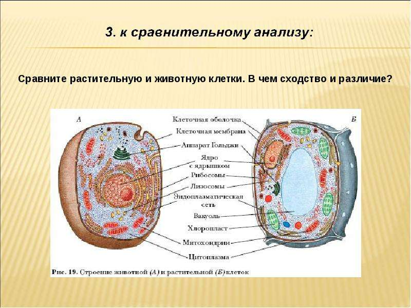 различие в строение клеток эукариот и прокариот таблица