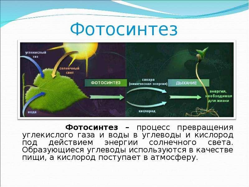 Цвет листа и фотосинтез