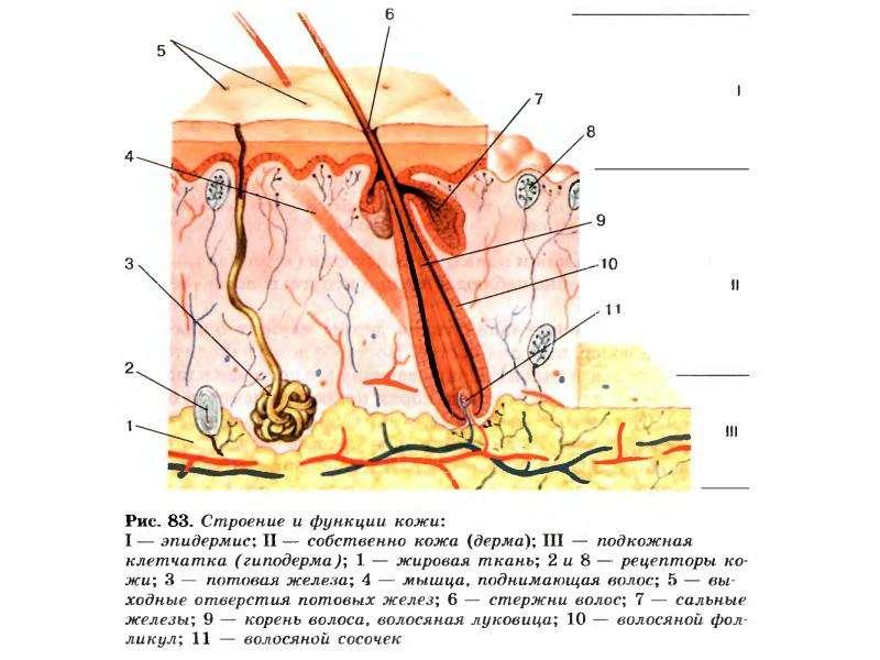 Строение волос физиология волос