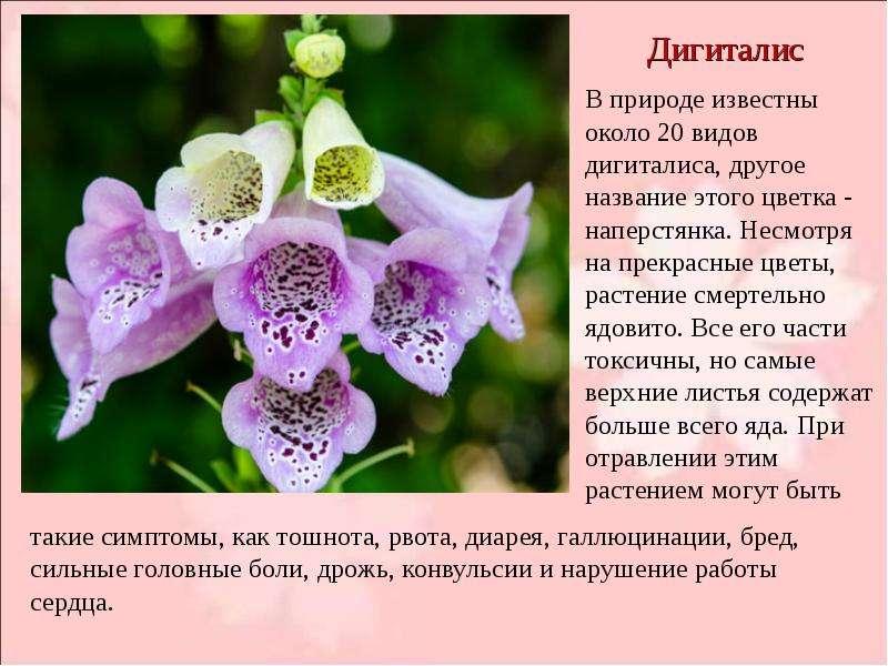 Наперстянка ядовитое растение