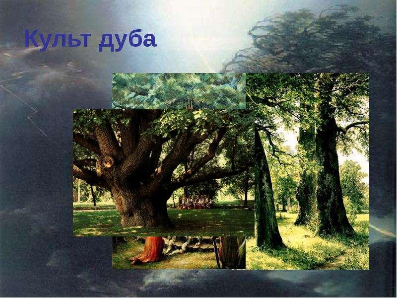 Культ дуба