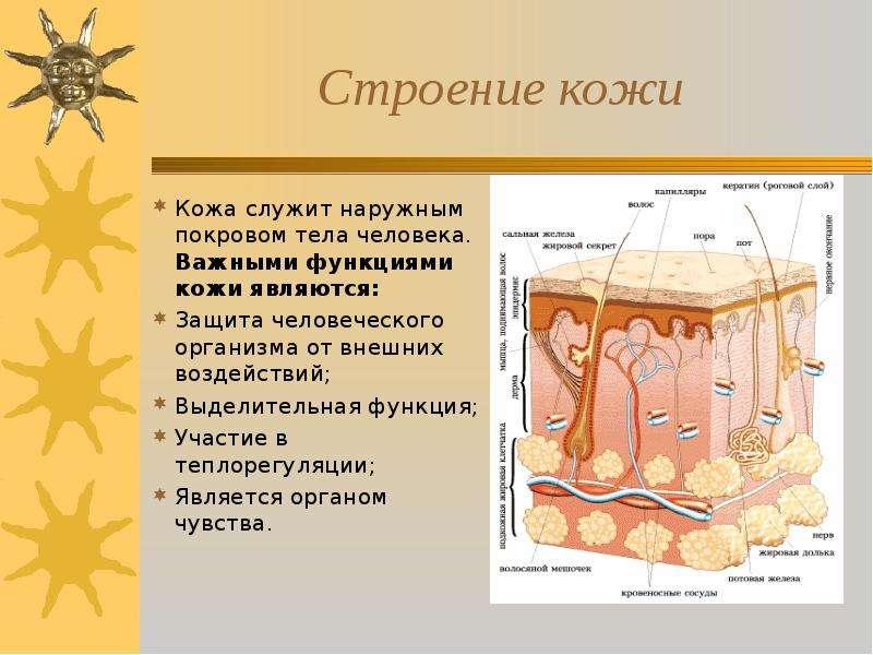 функции кожи человека реферат с картинками того полимерная мембрана