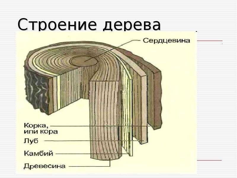 будет схема строения коры дерева имеют