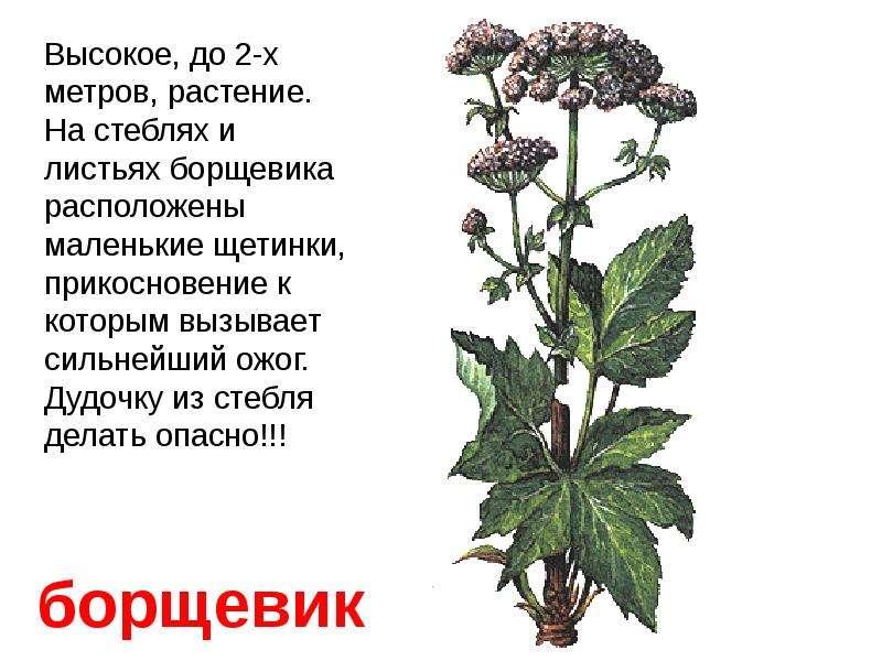 Ядовитые растения и название и описание для детей 93