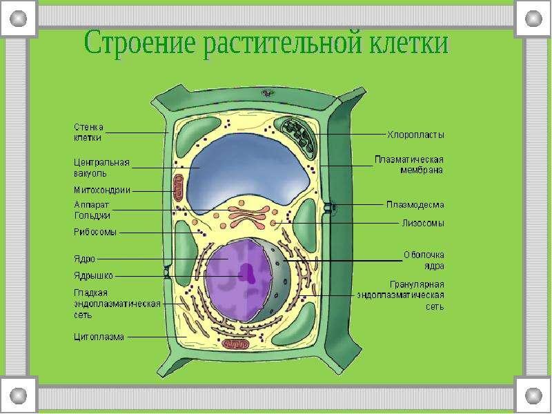 Строение клетки макет своими руками