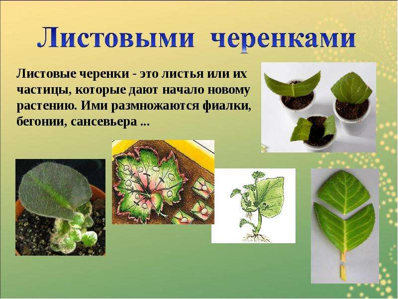 Презентацию тему бесполое размножение на растений