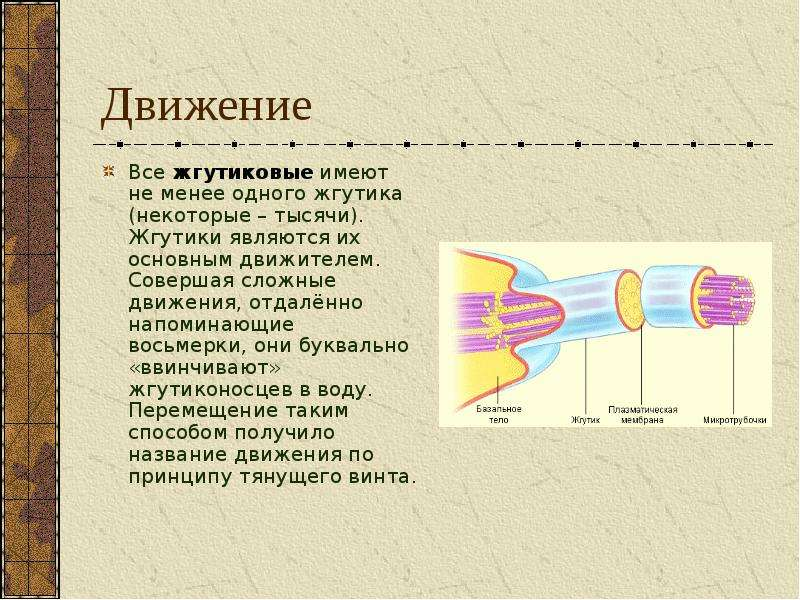 Движение Все жгутиковые имеют не менее одного жгутика (некоторые – тысячи). Жгутики являются их осно
