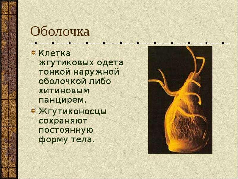 Оболочка Клетка жгутиковых одета тонкой наружной оболочкой либо хитиновым панцирем. Жгутиконосцы сох