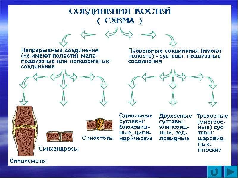 Соединение костей (схема).