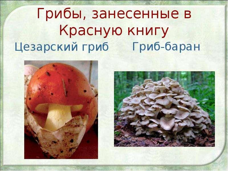 Грибы, занесенные в Красную книгу Цезарский гриб