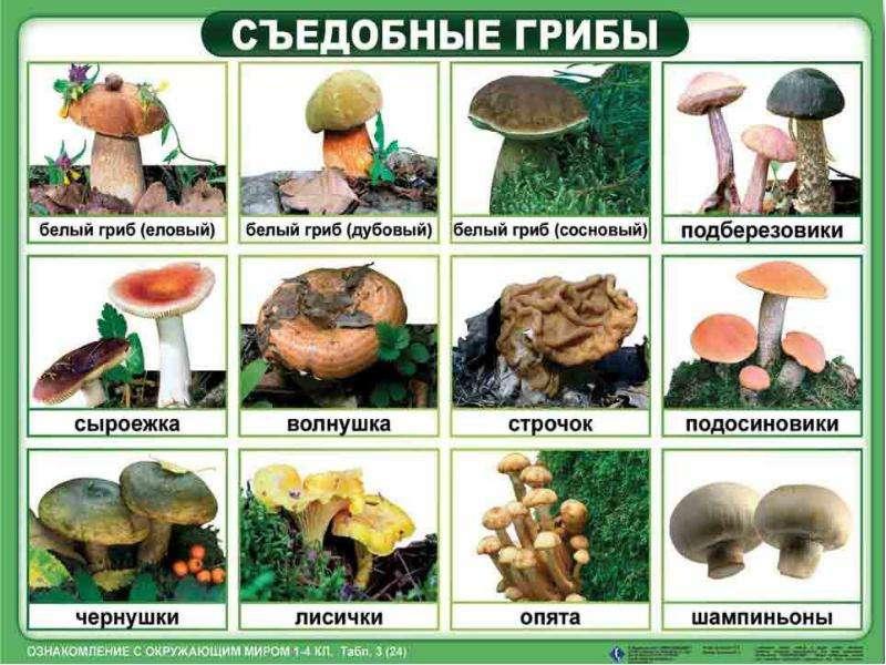 Грибы съедобные и несъедобные. Правила сбора грибов, слайд 5