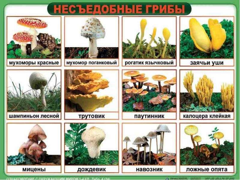 Грибы съедобные и несъедобные. Правила сбора грибов, слайд 6