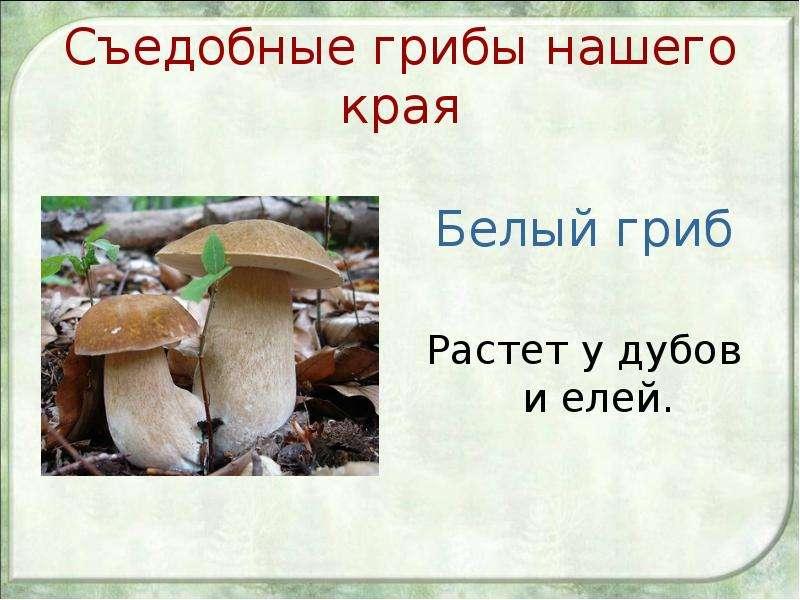 Съедобные грибы нашего края Белый гриб Растет у дубов и елей.