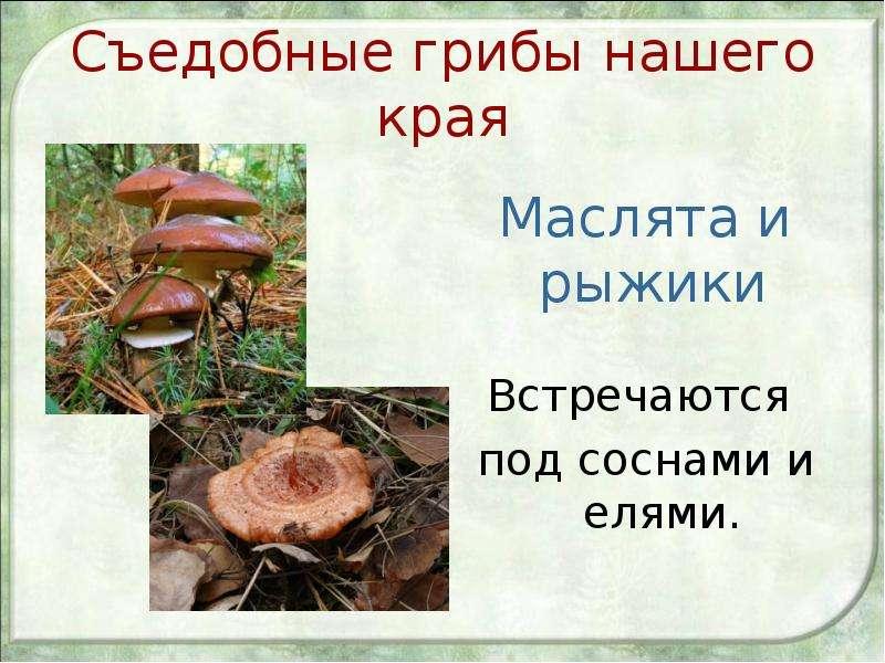 Съедобные грибы нашего края Маслята и рыжики Встречаются под соснами и елями.
