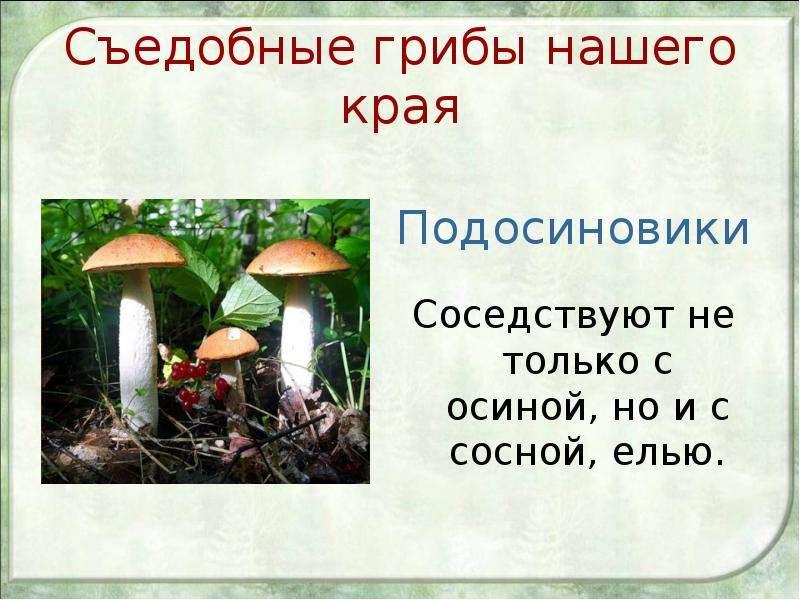 Съедобные грибы нашего края Подосиновики Соседствуют не только с осиной, но и с сосной, елью.