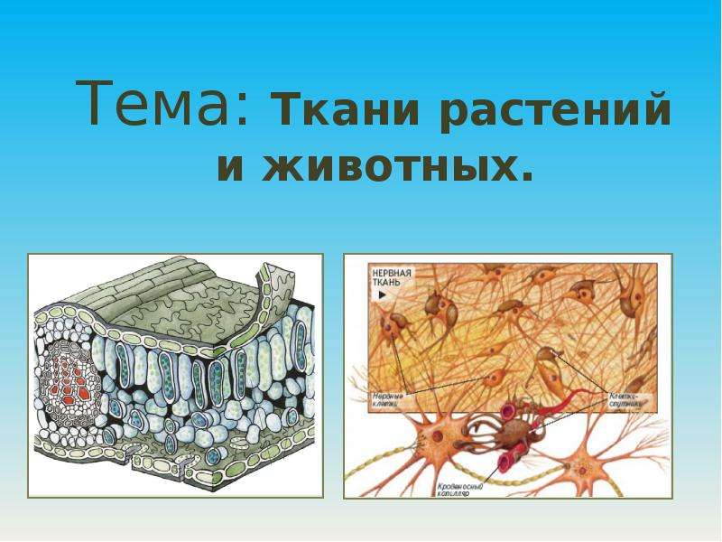 Презентация Тема: Ткани растений и животных.