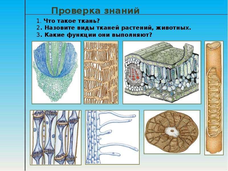 ткани растений и животных рисунок организациях ип, которых
