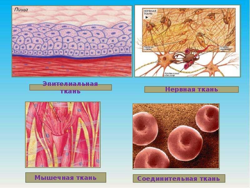 Тема: Ткани растений и животных., слайд 12