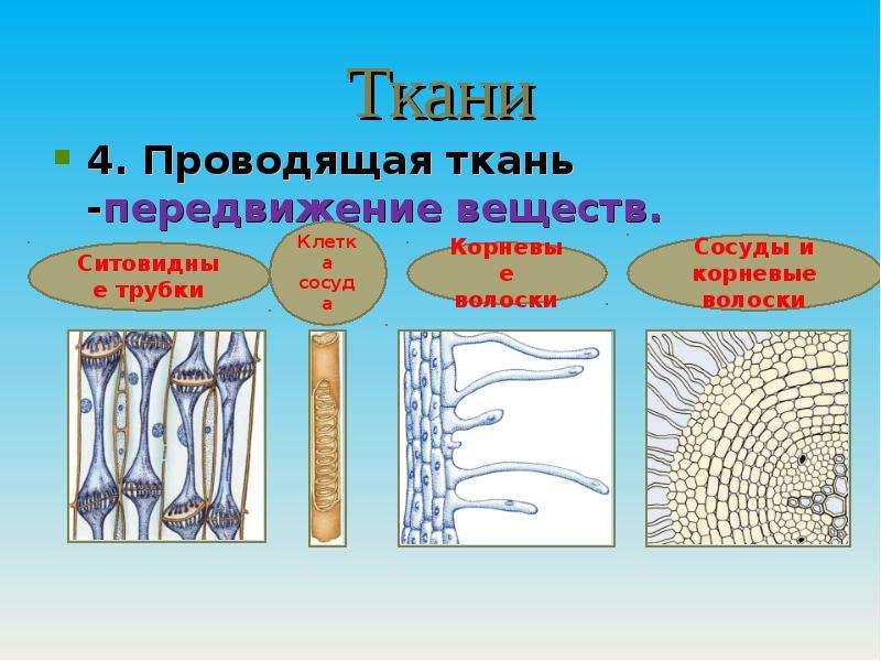 Ткани 4. Проводящая ткань -передвижение веществ.