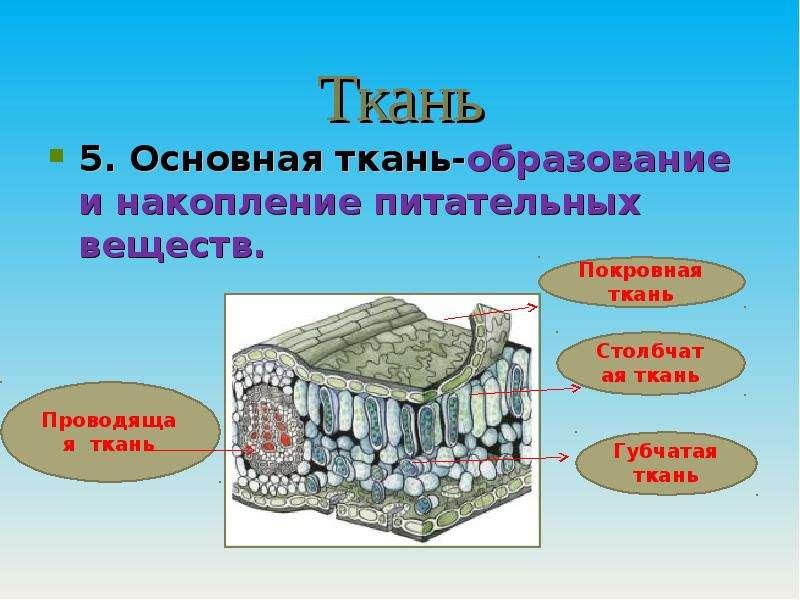Ткань 5. Основная ткань-образование и накопление питательных веществ.