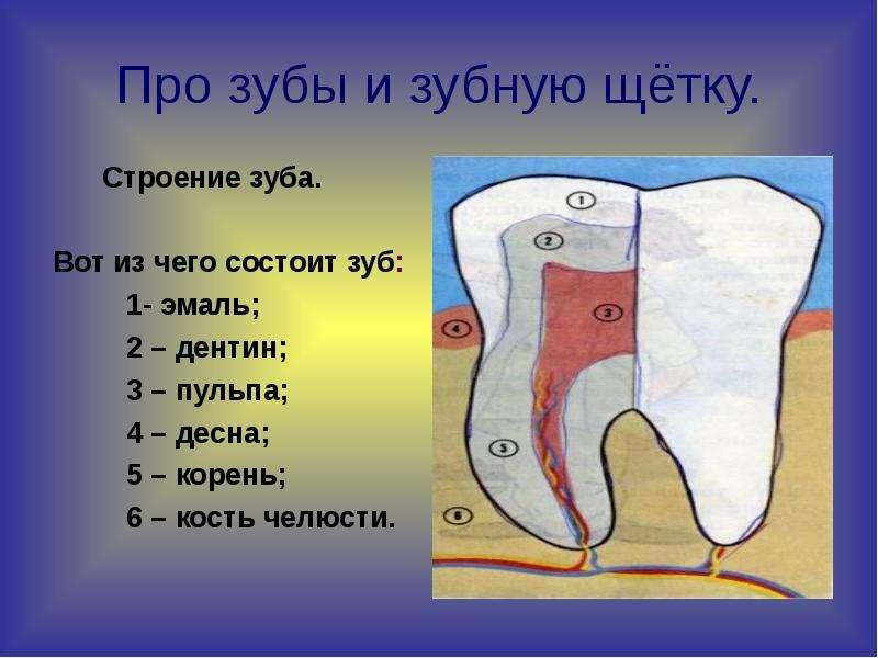 Про зубы и зубную щётку. Строение зуба. Вот из чего состоит зуб: 1- эмаль; 2 – дентин; 3 – пульпа; 4