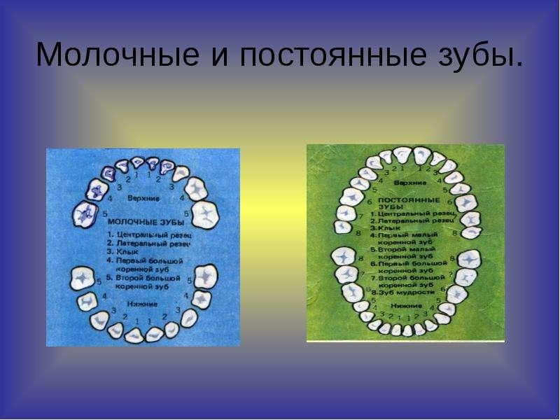 Молочные и постоянные зубы.