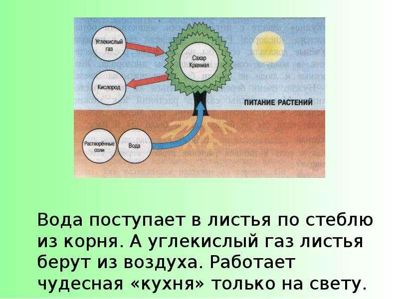 последовательность восходящего пути воды в растении или цирк Лавкрафт