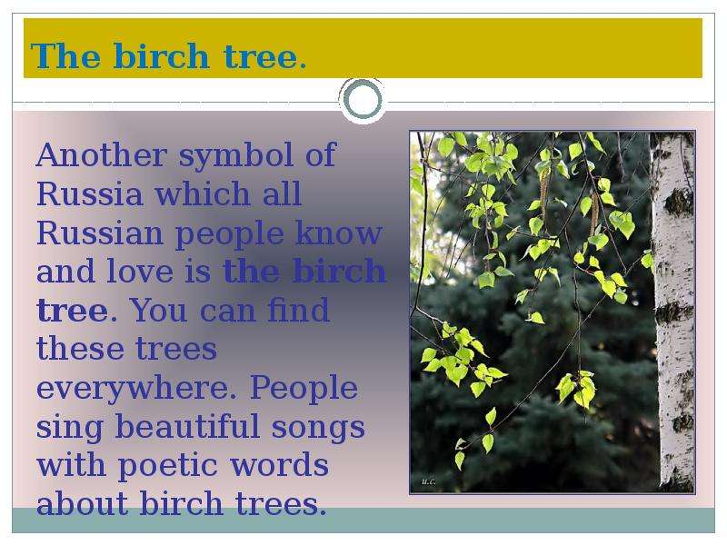 The birch tree.