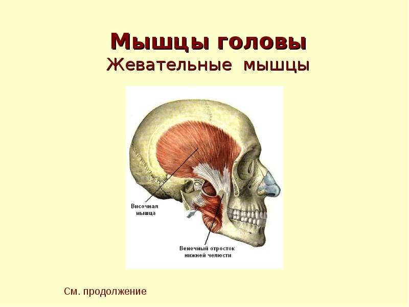 Презентация По Анатомии Мышцы