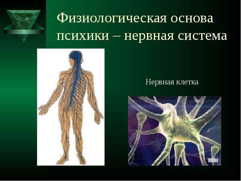 Физиологическая основа психики – нервная система