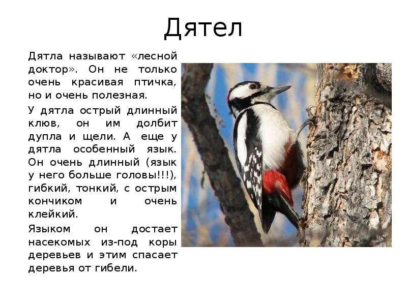 Дятел описание птицы