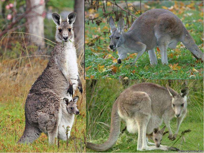 На тему Животные Австралии., слайд 5