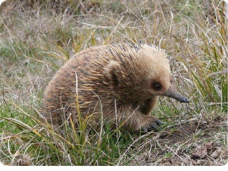 На тему Животные Австралии., слайд 7