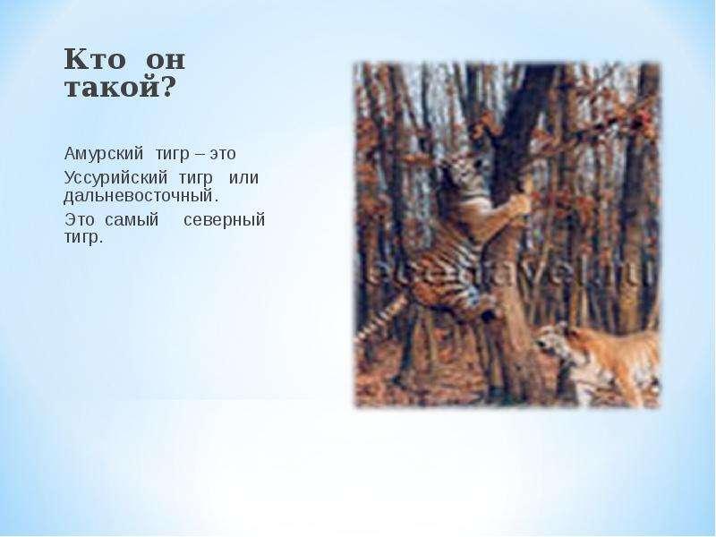 Кто он такой? Кто он такой? Амурский тигр – это Уссурийский тигр или дальневосточный. Это самый севе