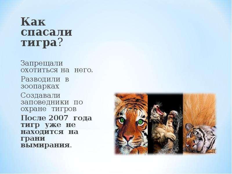 Как спасали тигра? Как спасали тигра? Запрещали охотиться на него. Разводили в зоопарках Создавали з