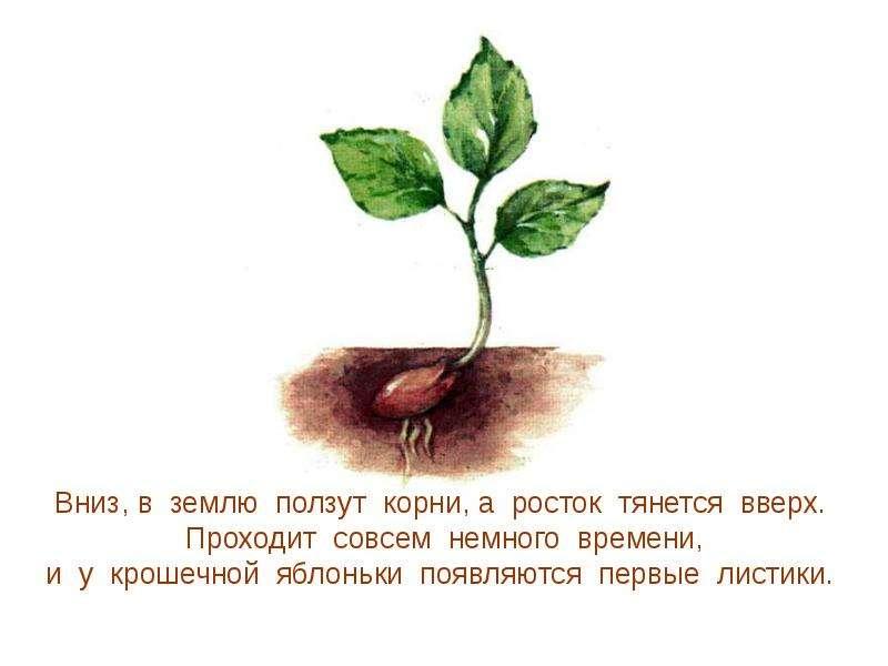 Картинки для детей росток яблони, открытки днем