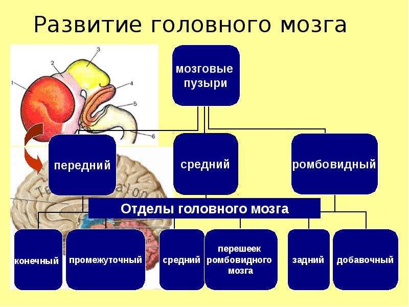 Либо опосредованно связано с функциональной специализацией субкортикальных структур мозга, которые