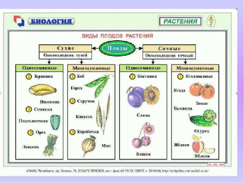 Плод реферат по биологии > вопрос закрыт Плод реферат по биологии